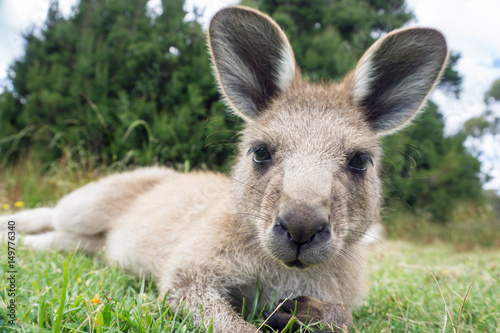 Australian western grey kangaroo close-up, Tasmania, Australia