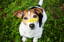 Jack Russell Terrier Dog On Th...