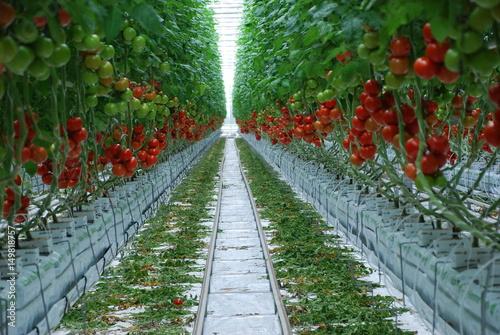 Tomaten Gewachshaus Tomatenzucht Tomate Bienen Landwirtschaft