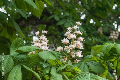 Marronnier en fleurs