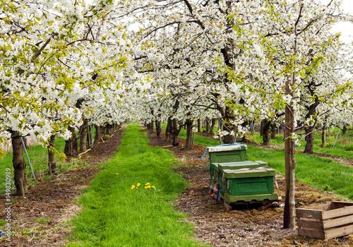 Blüte der Kirschbäume im Alten Land bei Jork in Norddeutschland