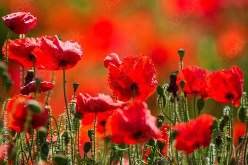 Foto op Aluminium Baksteen Field of Poppies in Sussex