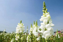 White Snapdragon Flowers Under...