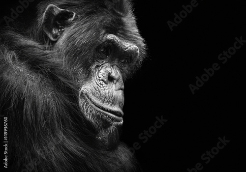 Poster de jardin Singe Black and white animal portrait of a chimpanzee with a contemplative stare
