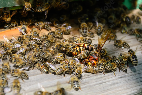 Bees attacked by hornets at the hive Fototapet