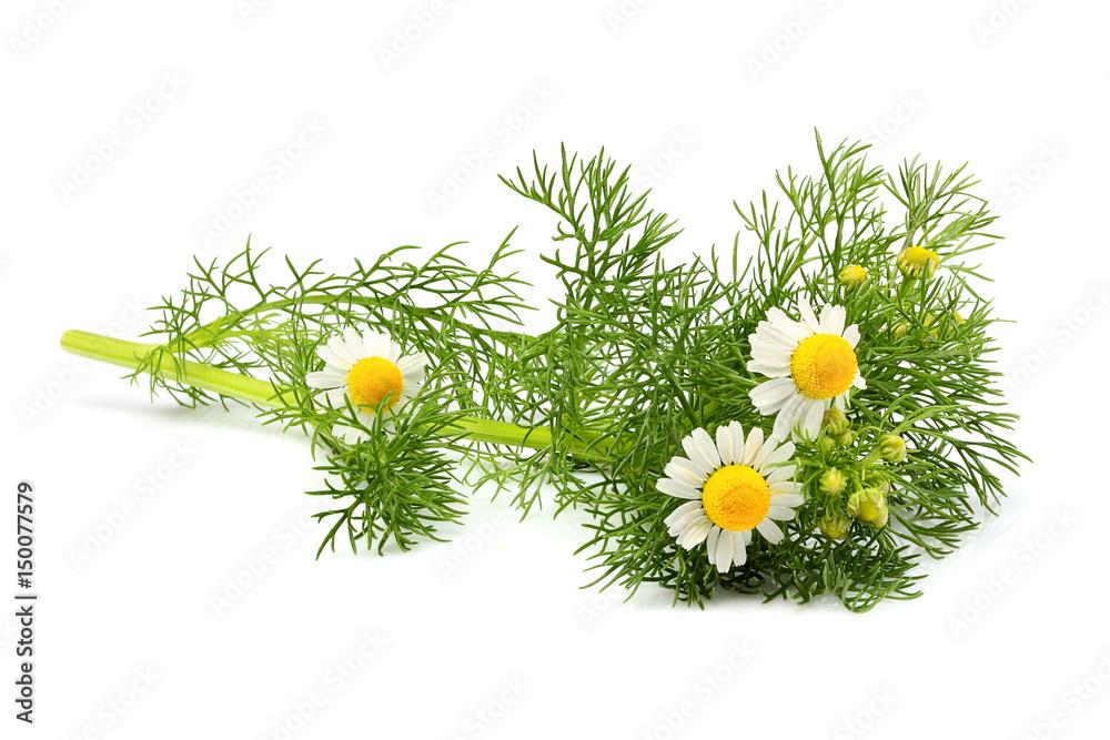 Fototapety, obrazy: Wild chamomile, Matricaria  isolated.