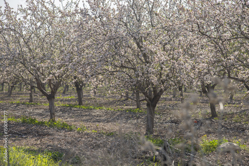almond trees blooming buy this stock photo and explore similar