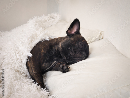 Deurstickers Franse bulldog Funny dog sleeps on the bed under a fluffy white blanket