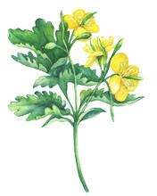 Celandine Spring Flowers (Chelidonium Majus ). Hand Drawn Watercolor Painting On White Background.