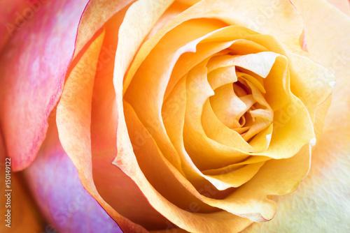 Fototapeta Beautiful multicolor roses flower for floral background obraz na płótnie