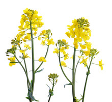 Flower Of A Rapeseed, Brassica...