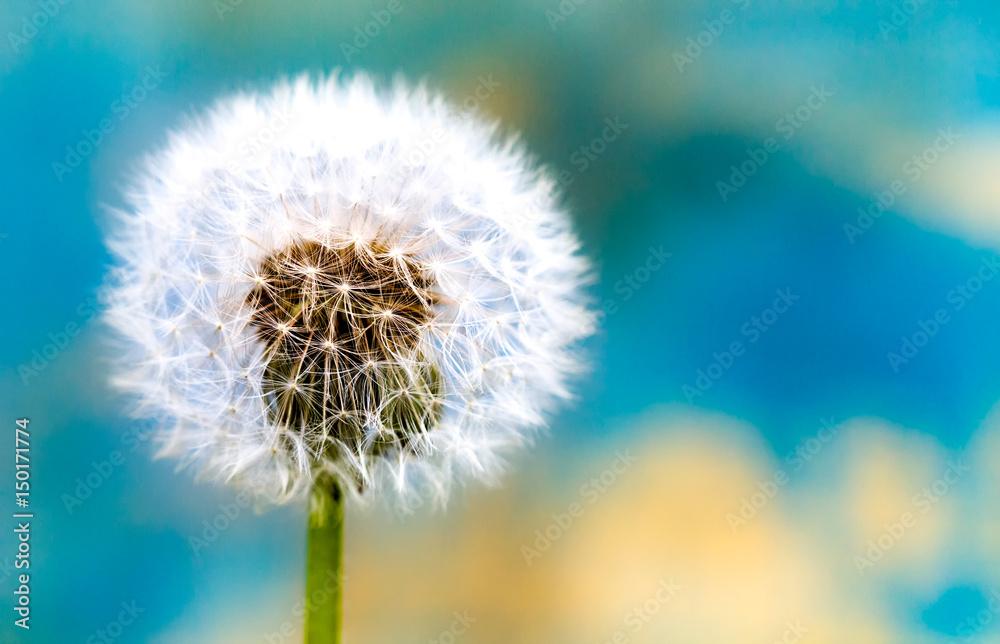 Fototapety, obrazy: Beautiful shiny dew drops on a dandelion seed. Close-up macro.
