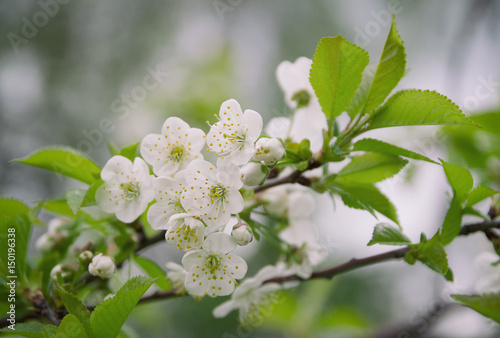 White flowers plummy mirabelle.