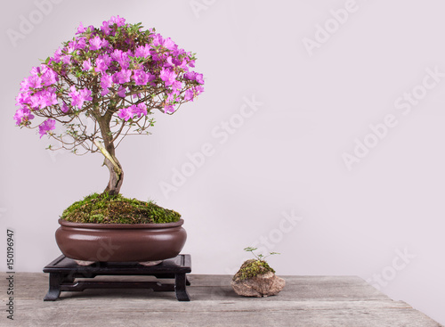 Foto op Aluminium Bonsai Spring flowers of the Japanese azalea bonsai in a bowl