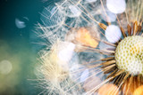 Fototapeta Puff-ball - Close-up of dandelion seeds on blue natural background