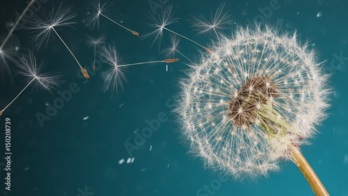 Foto op Plexiglas Paardenbloem Close-up of dandelion seeds on blue natural background