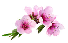 Peach Flowers Isolated