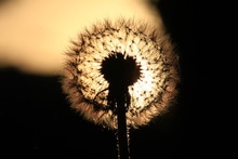 Dandelion In The Sun At Sunset