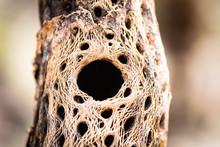Skeletal Remains Of Cholla Cactus.