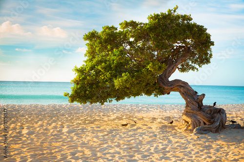 Divi Divi tree on the beach of Aruba Poster