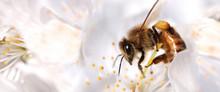 Honey Bee Collecting Pollen Fr...