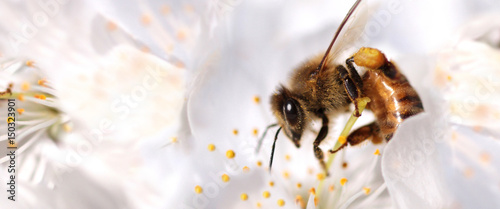 Poster Bee Honey bee collecting pollen from flowers