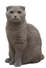 Grey Cat Isolated On White