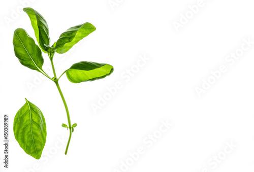 Fotografia  fresh sweet basil leaves isolated on white background