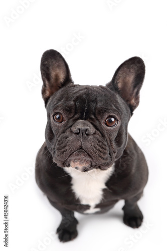 Poster Franse bulldog Black french bulldog on white background