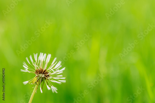 Keuken foto achterwand Paardebloemen en water Spring flowers beautiful dandelions in green grass.