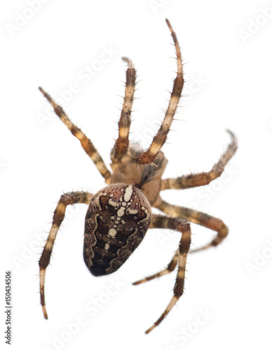 Cross Spider isolated on white background