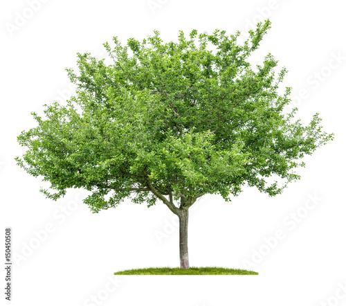 Freigestellter Kirschbaum vor einem weißen Hintergrund