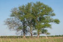 Three Huge Poplars Growing In ...