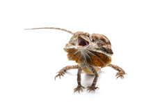 Frilled Lizard Isolated On Whi...
