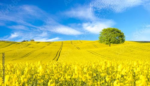 Foto op Plexiglas Weide, Moeras Panorama of blooming field, yellow rape