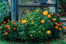 A Bush Of Bright Marigolds In ...