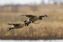 Canada Geese (Branta Canadensi...
