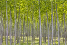 USA, Oregon, Boardman. Pattern Of Hybrid Poplar Trees. Credit As: Don Paulson / Jaynes Gallery / DanitaDelimont.com