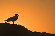 USA, Oregon, Bandon. Seagull Silhouette At Sunset. Credit As: Jay O'Brien / Jaynes Gallery / DanitaDelimont.com