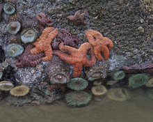 OR, Bandon, Ochre Sea Stars And Green Sea Anemones (Large Format Sizes Available)
