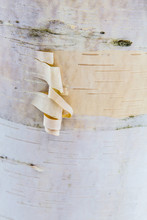 The Bark Of A Paper Birch Tree, Betula Papyrifera, In Vermont's Green Mountains. Shrewsbury. Jim Jeffords State Forest.
