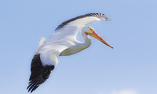 USA, Wyoming, Lincoln County, Kemmerer, American White Pelican Flying In For A Landing.