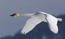 Trumpeter Swan, Winter Flight