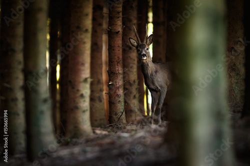 Montage in der Fensternische Reh Rehbock im Wald