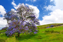Beautiful Purple Jacaranda Tre...