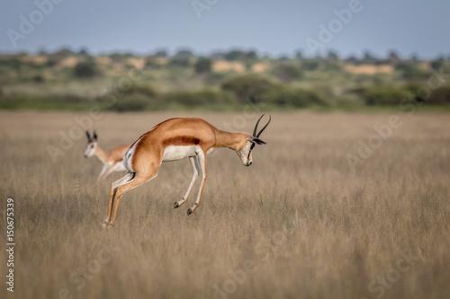 Spoed Fotobehang Antilope Springbok pronking in the Central Kalahari.