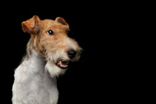 Portrait Of Fox Terrier Dog Looking At Side On Isolated Black Background, Profile View