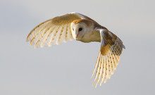 Barn Owl, Bird Of Prey, In Fli...