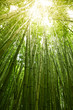 canvas print picture Lush green bamboo background