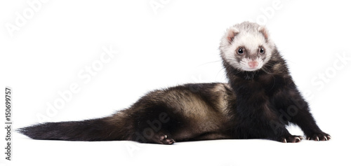 Grey ferret in full growth lies isolated Fototapet
